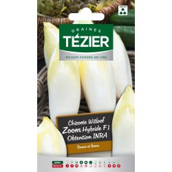 Tezier - Chicorée Witloof (endive) Zoom HF1 obtention INRA