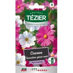 Tezier - Cosmos Sensation géant varié -- Fleurs annuelles
