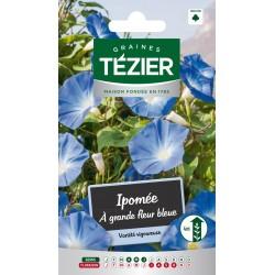 Tezier - Ipomée à grande fleur bleue -- Fleurs annuelles