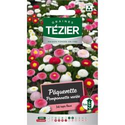 Tezier - Pâquerette Pomponnette variée -- Fleurs bisannuelles