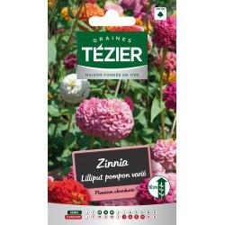 Tezier - Zinnia Lilliput Pompon varié -- Fleurs annuelles