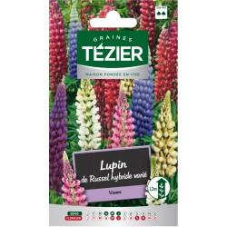 Tezier - Lupin de Russel hybride varié -- Fleurs vivaces