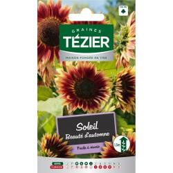 Tezier - Soleil Beauté d'automne  Fleurs annuelles