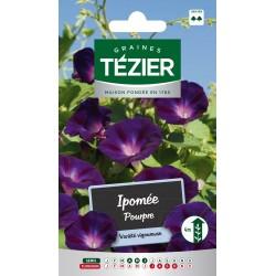 Tezier - Ipomée pourpre -- Fleurs annuelles