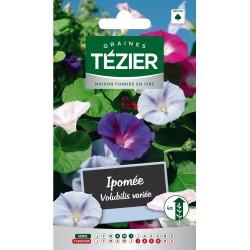 Tezier - Ipomée volubilis variée -- Fleurs annuelles