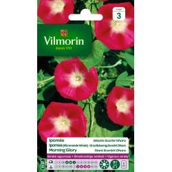 Vilmorin - Ipomee Scarlet Ohara